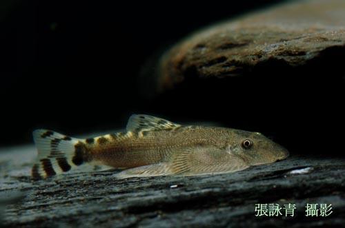 保育类野生动物名录