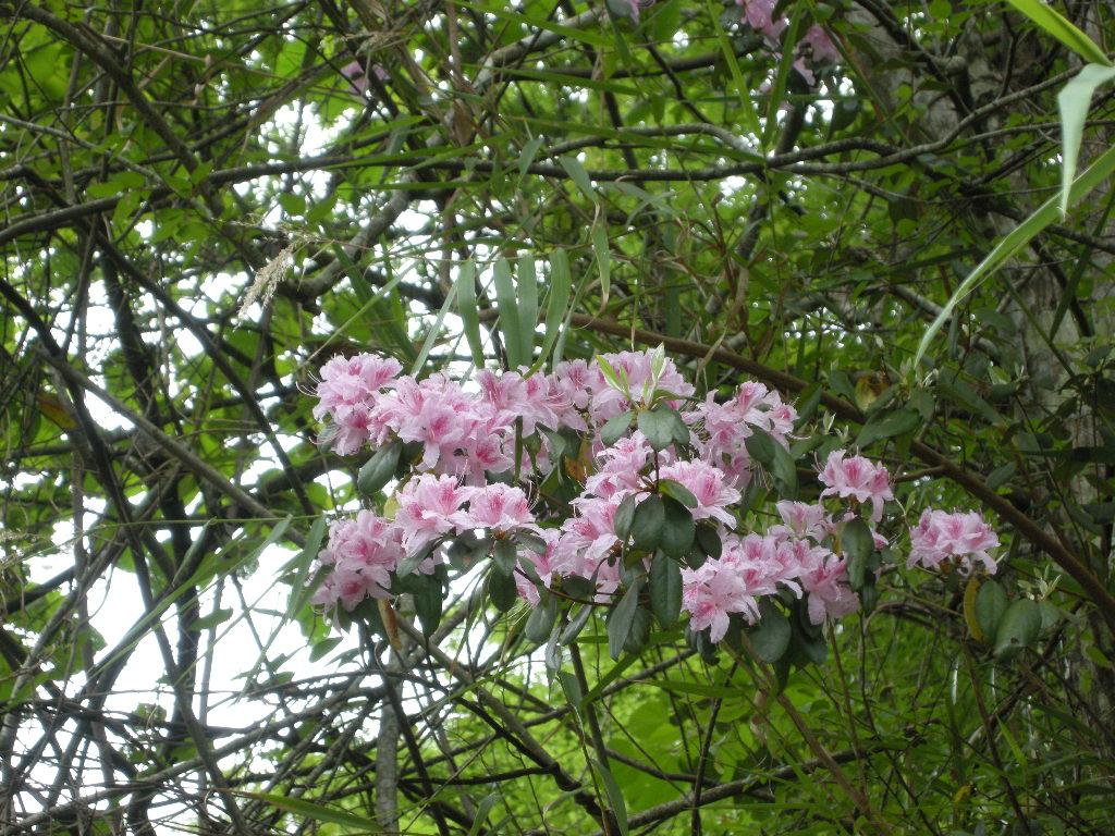 春满八仙山 杜鹃展娇颜